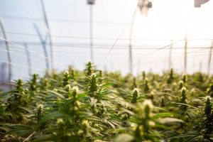 Hemp Cultivation in France